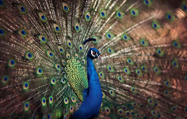 Picture bird, tail, peacock
