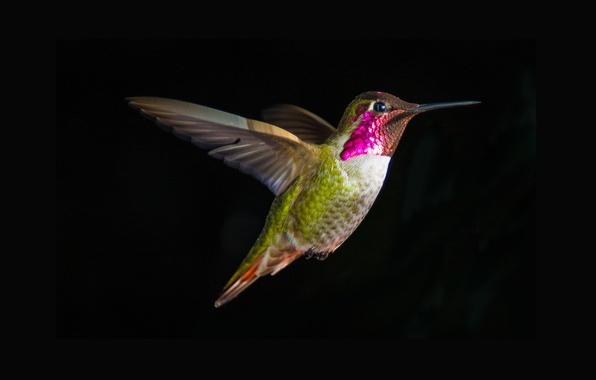 Picture bird, Hummingbird, Hummingbird