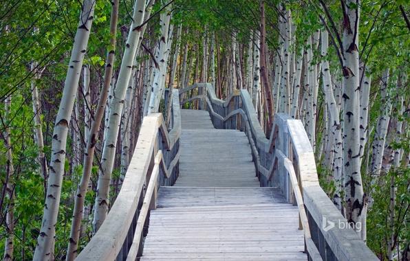 Picture greens, summer, leaves, trees, bridge, perspective, railings, birch, the bridge