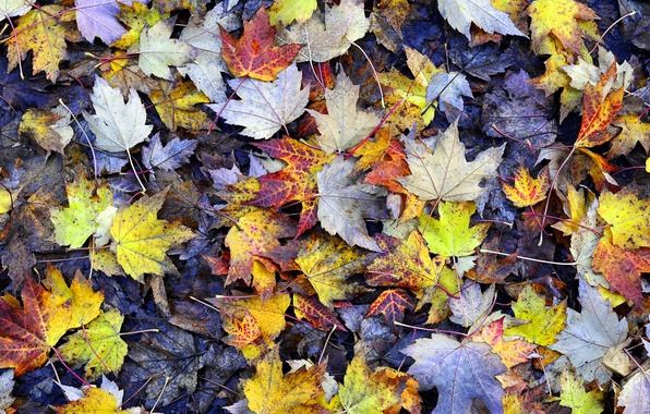 Picture autumn, earth, foliage, yellow, Leaves, texture, maple