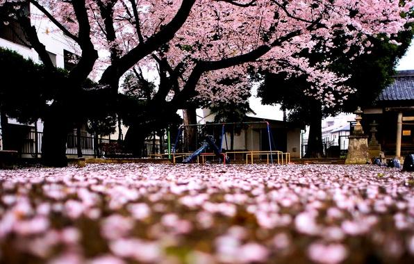 Picture macro, trees, background, tree, pink, widescreen, Wallpaper, Sakura, wallpaper, flowers, widescreen, background, full screen, HD …