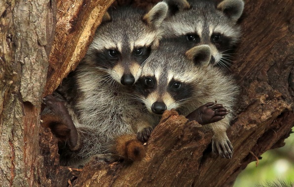 Picture tree, raccoons, the hollow, Trinity