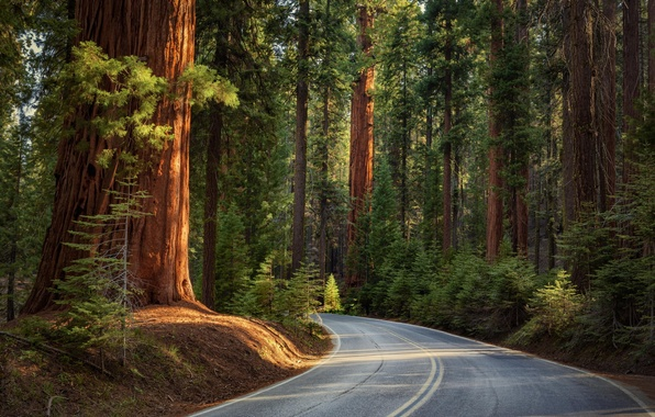 Picture road, forest, trees, nature, needles, sikuai