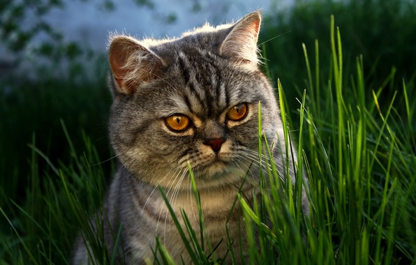 Picture grass, eyes, cat, face, British