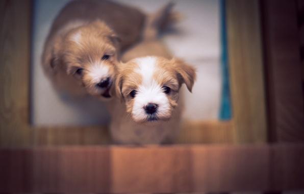 Picture puppy, dog, bokeh, cute, bichon