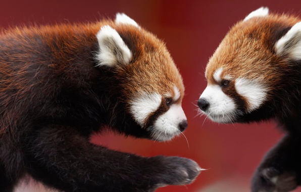 Picture two, Panda, red, muzzle
