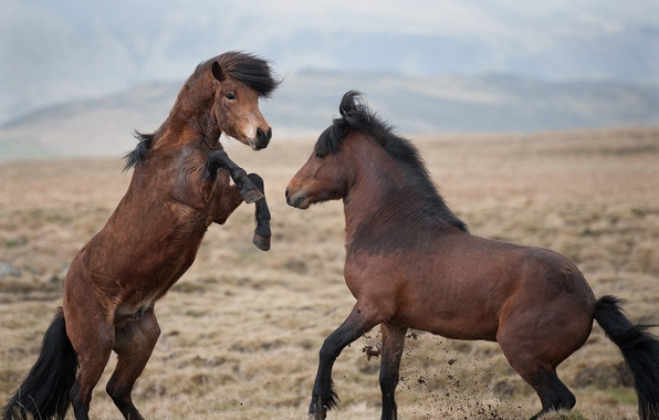 Picture the steppe, the game, horses, horse, fight, pair