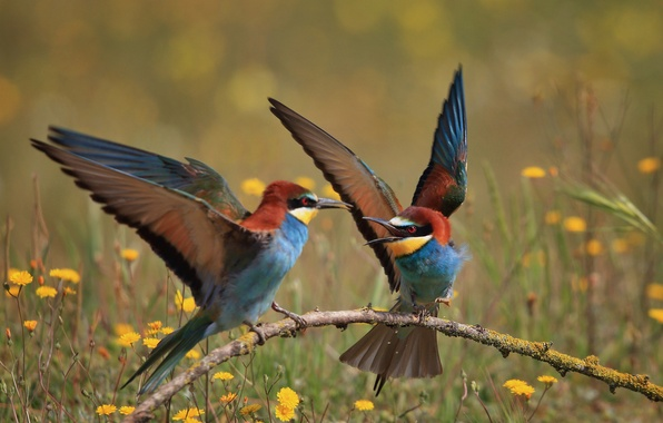 Picture birds, branch, bee-eaters