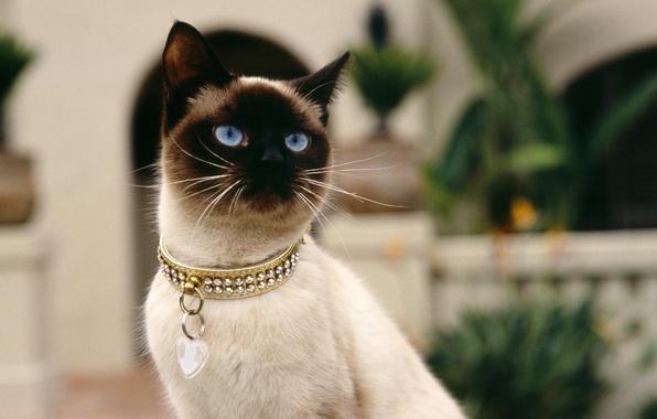 Picture cat, collar, Siamese