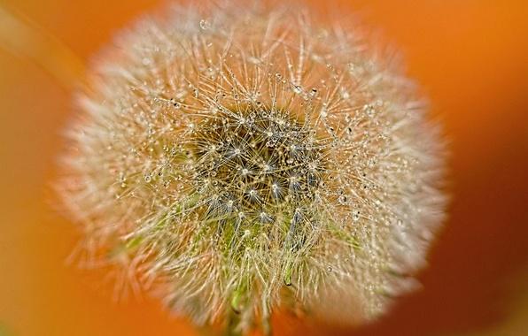 Picture drops, Rosa, background, dandelion