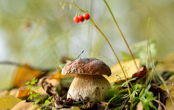 Picture autumn, forest, leaves, nature, mushrooms, white mushroom, September