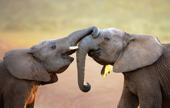 Picture elephants, trunk, elephants