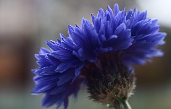 Picture flower, macro, blue, focus, Cornflower