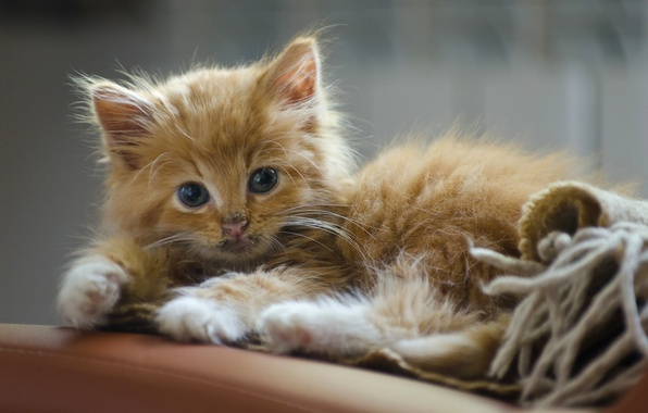 Picture look, red, kitty, ginger kitten