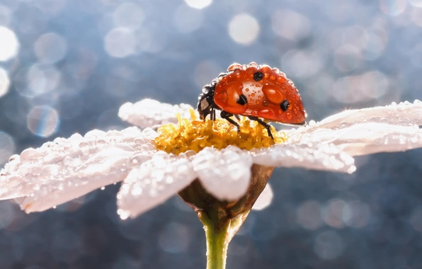 Picture flower, drops, macro, Rosa, ladybug, Daisy, insect