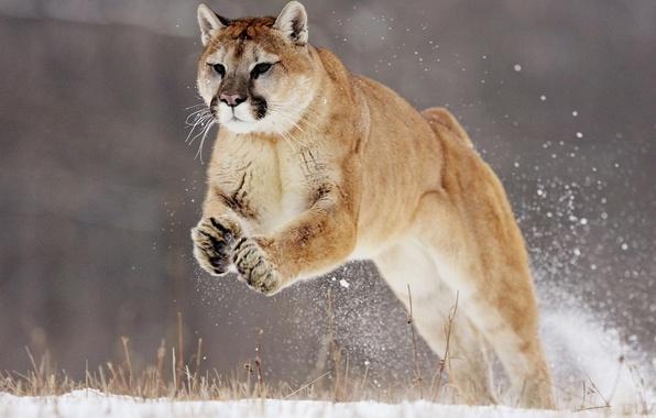 Picture snow, jump, Puma, puma