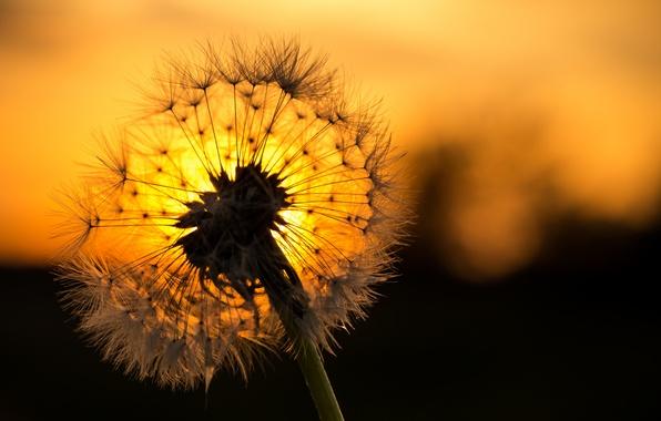 Picture flower, sunset, dandelion, blade