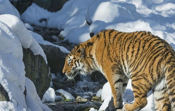 Picture snow, tiger, predator, wild cat