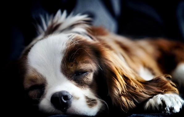 Picture dog, sleeping, lies, Spaniel