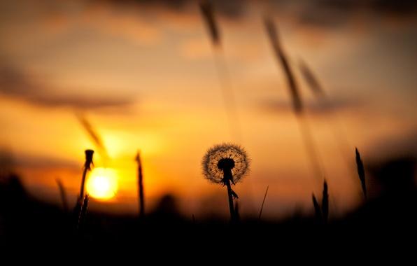 Picture field, the sky, grass, the sun, sunset, dandelion, silhouette