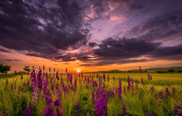 Picture field, summer, the sky, the sun, sunset, flowers, the evening
