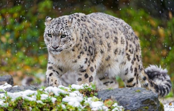 Picture cat, snow, predator, IRBIS, snow leopard