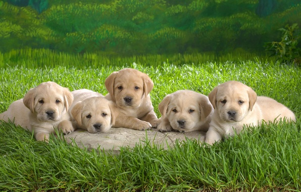 Picture grass, puppies