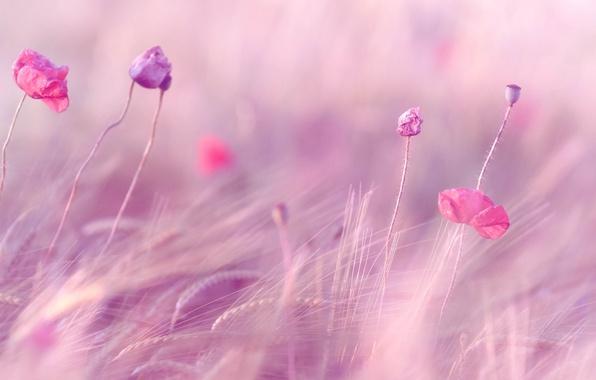 Picture wheat, field, purple, flowers, background, pink, widescreen, Wallpaper, rye, wallpaper, ears, flowers, field, widescreen, flowers, …