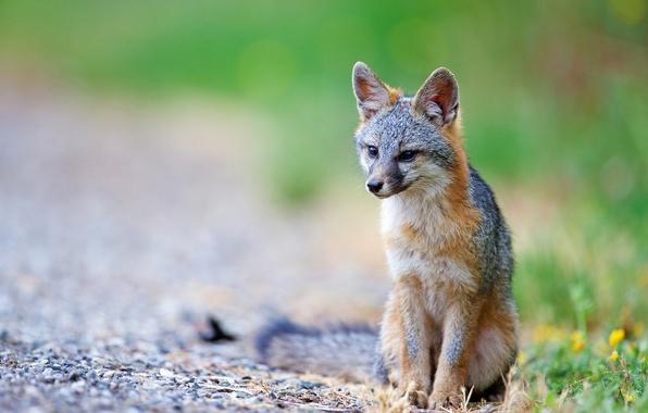 Picture nature, predator, Fox, Gray Fox