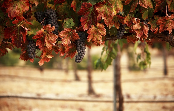 Picture leaves, landscape, nature, vineyard, bunches, blur