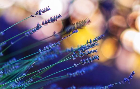 Picture macro, light, flowers, glare, bokeh, Lavender