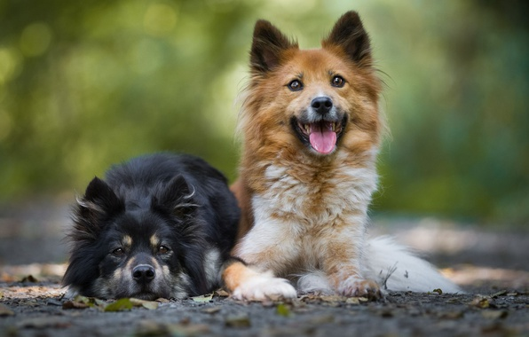 Picture language, dogs, leaves, background, puppies, pair, breed, lie, two dogs
