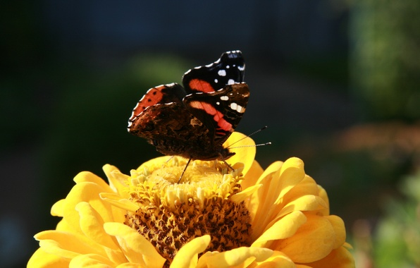 Picture flower, summer, macro, flowers, nature, background, Wallpaper, plant, garden, insect, butterfly chocolate