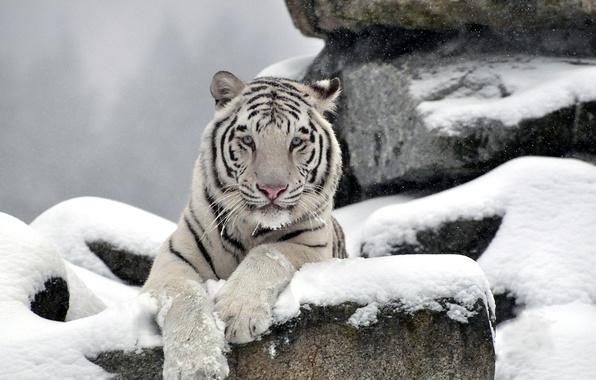 Picture white, face, snow, tiger, stones, predator, waite tiger