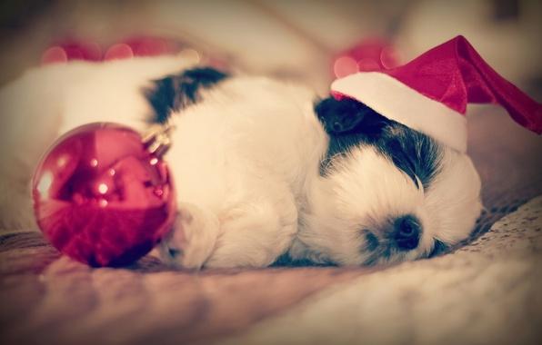 Picture sleep, dog, ball, baby, puppy, cap, sleep, Shih Tzu