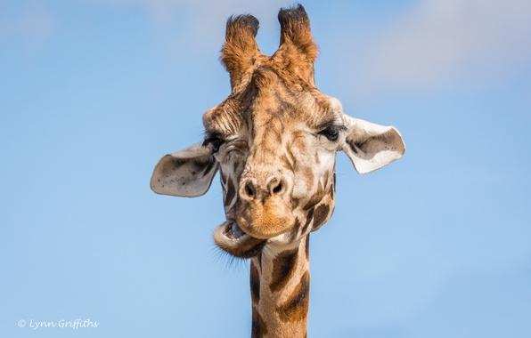 Picture face, giraffe, grimace