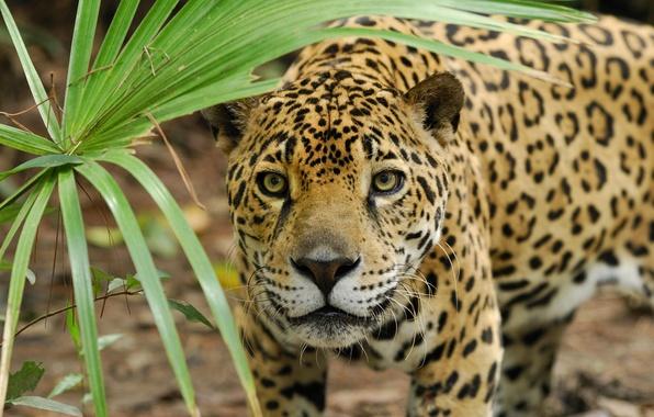 Picture face, sheet, predator, Panther, Jaguar, hunting, wild cat