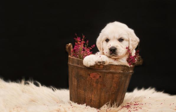 Picture white, flowers, background, dark, dog, puppy, fur, sitting, Golden, Retriever, Taz