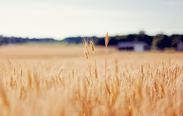 Picture wheat, field, gold, blur, spikelets