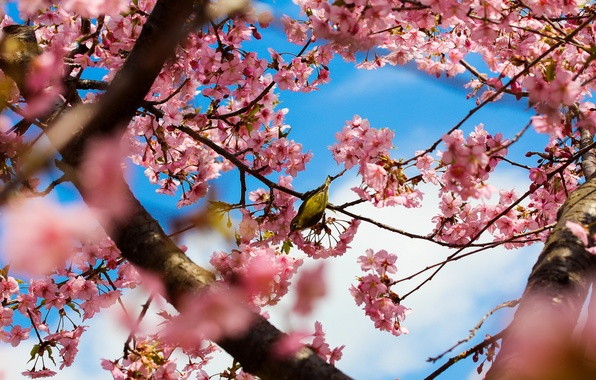 Picture trees, flowers, branches, nature, Park, bird, spring, Japan, Sakura, Tokyo, pink, flowering