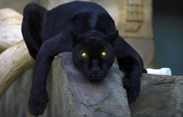 Picture cat, eyes, Panther, black, panther