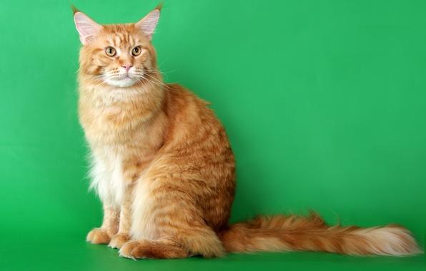 Picture cat, cat, Maine Coon