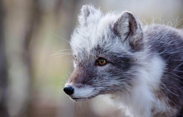 Picture portrait, Fox, polar Fox