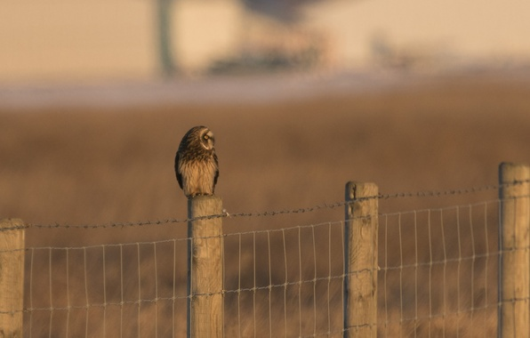 Picture bird, the fence, predator, fence, profile, Short eared owl, Asio flammeus, short-eared owl
