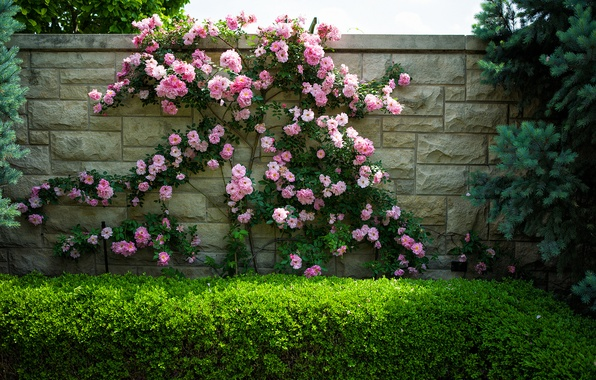 Picture flowers, wall, roses, the bushes
