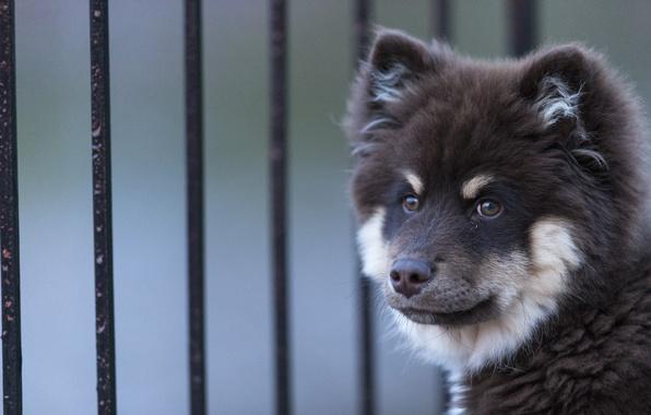 Picture face, dog, Finnish, Lapp, Laplander husky, Finnish lapphund