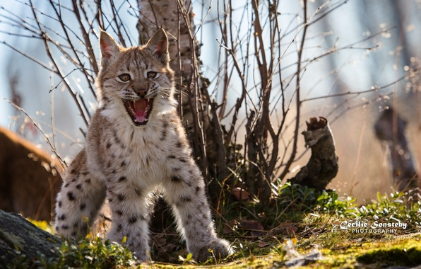 Picture pose, fright, predator, mouth, fangs, grin, cub, lynx, wild cat, angry, a small lynx