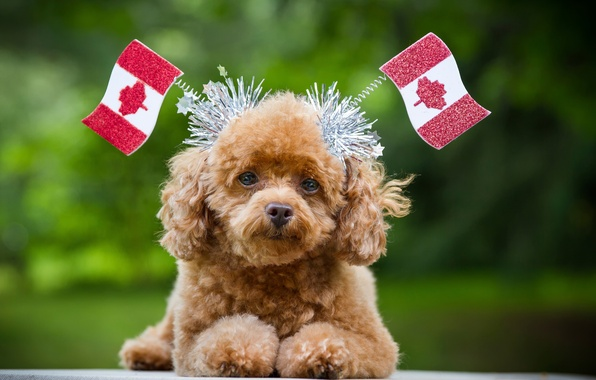 Picture look, Canada, flags, dog