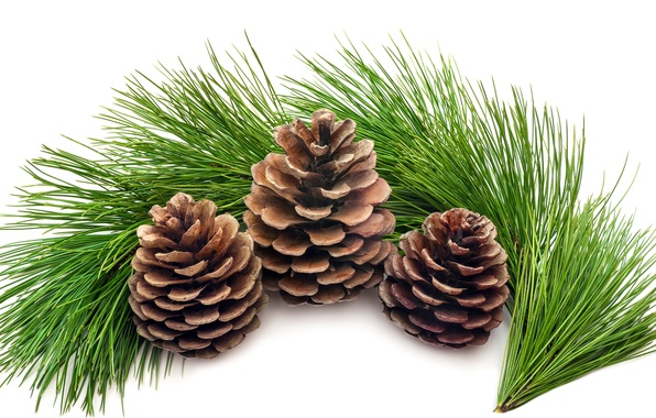 Picture greens, tree, spruce, branch, white background, tree, needles, bumps