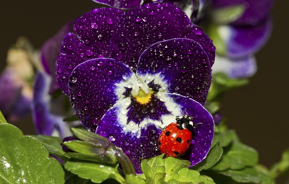 Picture drops, macro, ladybug, viola